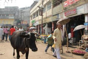 インドで牛は神様