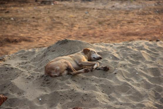 ビーチでお昼寝の野良犬