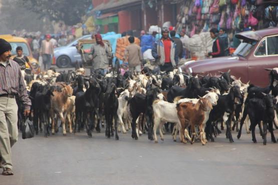 町中でヤギの大行進