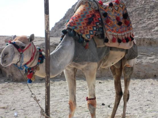 ピラミッドのある敷地を案内するラクダ