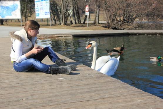 ブレッド湖にいる人懐っこい白鳥