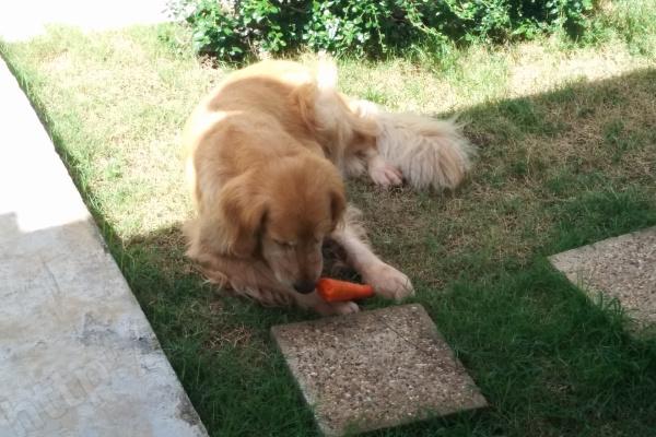 サクラ、お庭で人参